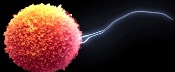 Stem cell transplant might restore sperm