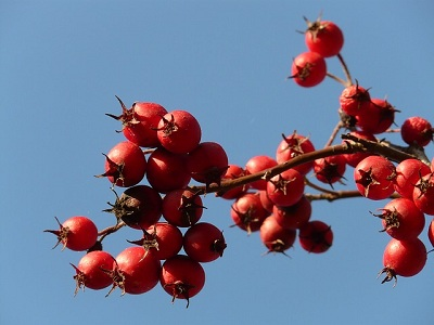 Health Benefits of Hawthorn Berry